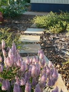 Pink Mulla Mulla (Ptilotus exaltatus) at the start of a garden path