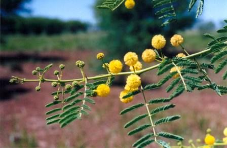Prickly acacia flower