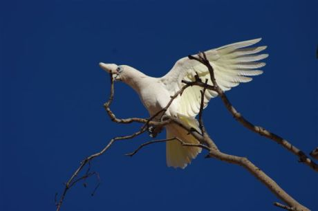 little corella at Kilto