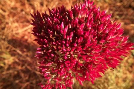 Polycarpaea longiflora at Kitty Well