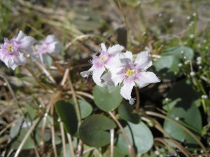 Nymphoides beaglensis, an aquatic Marshwort, is limited in the Kimberley to waterholes close to Beagle Bay