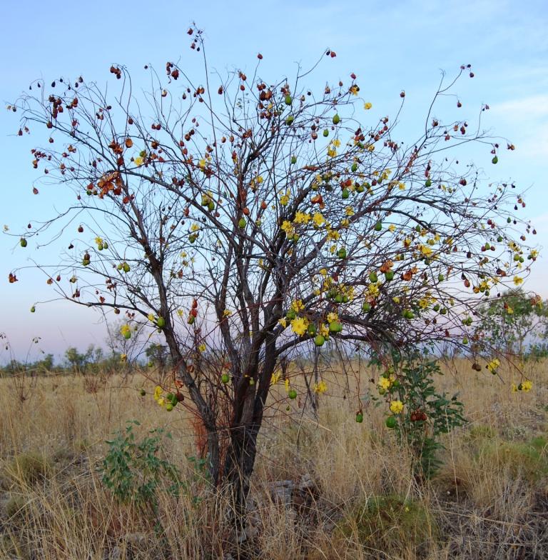 Cochlospermum fraseri (Yellow Kapok) | Society for Kimberley