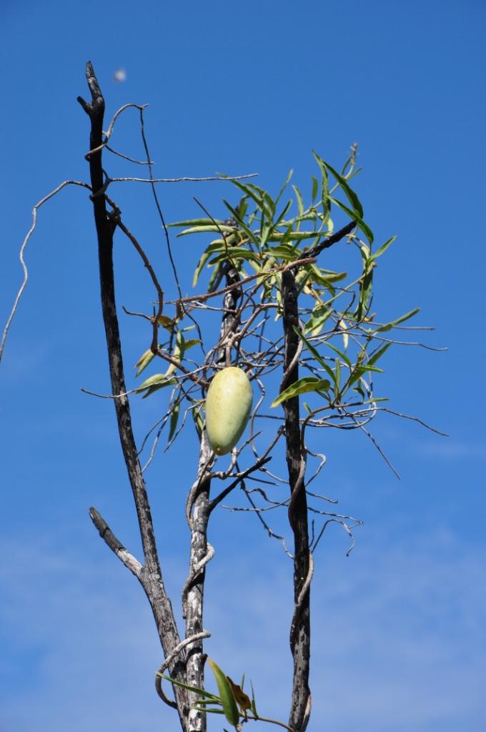 Marsdenia Viridiflora Bush Banana Society For Kimberley